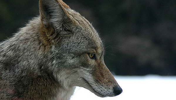 a98980_Coyote